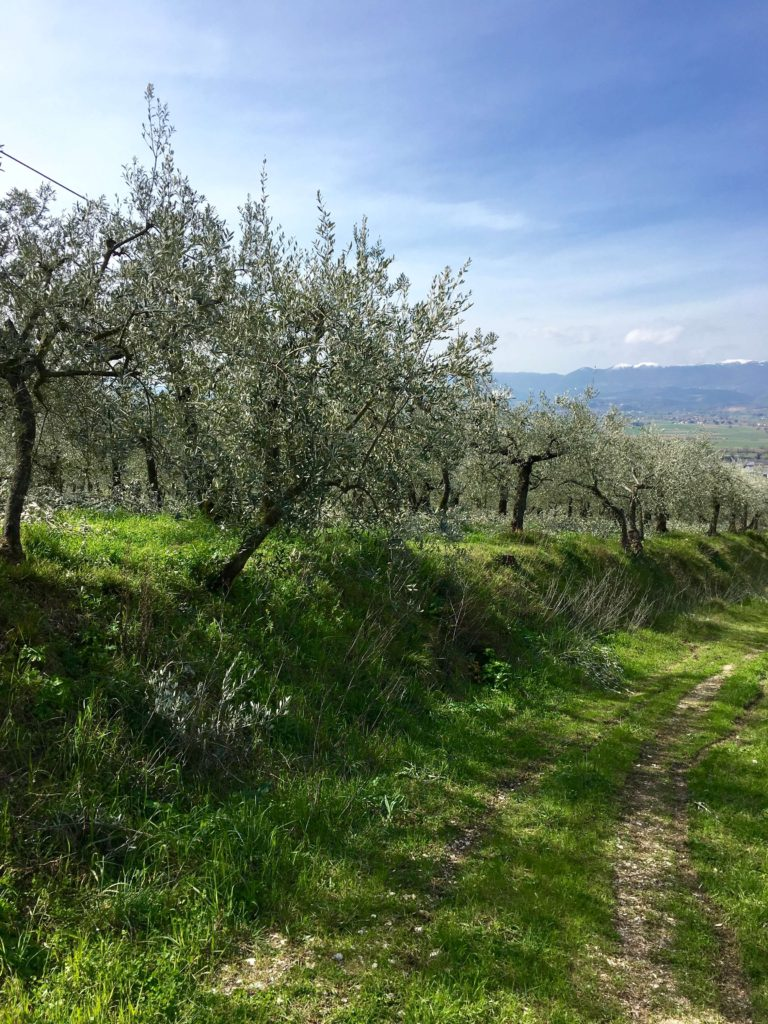 Olive grove umbria Italy