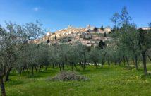 Umbria trevi olive tree